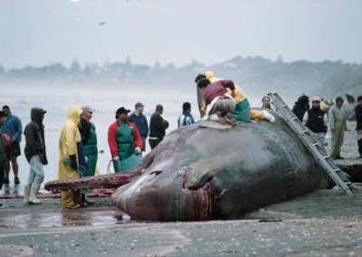 Iwi at work removing the jawbones from a dead sperm whale stranded at Paekakariki. Evening Post  20th of March 1996